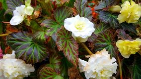 A display of begonia plants Royalty Free Stock Photos