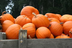 Display of bright orange pumpkins in a truck. Stock Photography