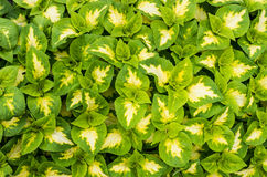 Display of coleus plants with green leaves stock photos