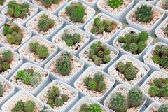 The display collection of miniature cactus plant on white pot in minimal style design