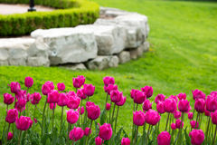 Display of colorful magenta tulips. Flowering in a flowerbed in a lush green garden with a natural rock retaining wall heralding the start of spring Stock Images