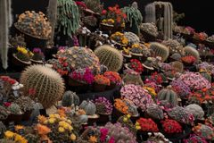 Display of colourful flowering cactus plants against a black background. Seen at the Royal Horticultural Society Chelsea Flower Show, London UK, 2018 Stock Photo