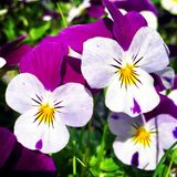 Pansies. A display of edible violet pansies in a herb garden organic Stock Images