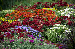 Display of fall mums. Colorful fall mums in a garden display stock image