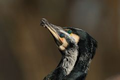 Display of Great Cormorant Royalty Free Stock Images