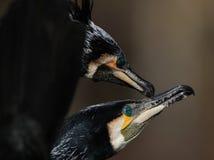 Display of Great Cormorant stock image