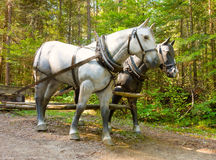 A display at a logging museum in northern ontario. Man-made horses representing the old-fashioned mode of transport in the logging industry as seen at algonquin stock images