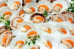 Opened fresh raw scallops in their shells. Display of opened fresh raw scallops in their shells on a bed of crushed ice at a fish market or supermarket in a Royalty Free Stock Images