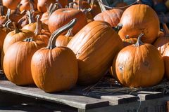 Display of orrange giant pumpkins stock photos
