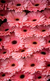 Display of peach pink Gerbera daisies Stock Photo