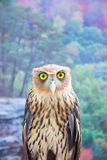 Philippine Eagle Owl Stock Photography