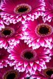 Display of pink Gerberas Stock Image