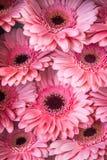 Display of pink Gerberas Stock Photo