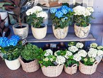 Flower Plants in Pots and Cane Baskets. Display of plants and flowers for sale, including blue and white hydrangeas, in roughly glazed ceramic pots and tightly stock images