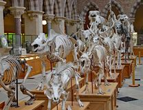 A display of the skeletons of extinct animals at the Oxford Natural History Museum.  royalty free stock images