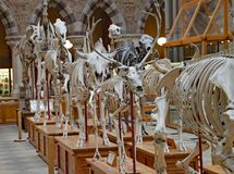 A display of the skeletons of extinct animals at the Oxford Natural History Museum.  royalty free stock photo