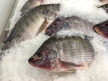Tilapia fishes stock image