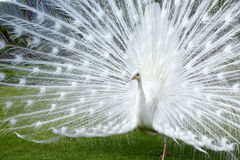 Display of white peacock, Borromean islands, Italy. In the gardens of small Borromean islands (lake Maggiore in Italy) there are some pure white peacocks, like Stock Image