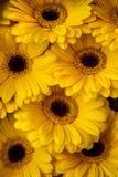Display of yellow Gerberas Royalty Free Stock Photos