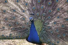 Displaying indian peacock Stock Photos