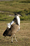 Displaying Kori Bustard Royalty Free Stock Photos