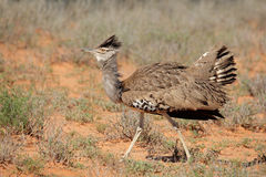 Displaying kori bustard Royalty Free Stock Photography