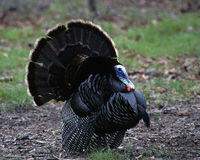 Displaying Male Wild Turkey. Wings fluffed, tail fanned. Connetquot River State Park, New York Stock Photography