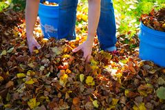 Dispose fall leaves. Woman working in garden and dispose fall leaves Royalty Free Stock Image