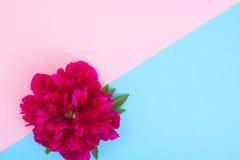 Disposição criativa da flor vermelha da peônia e do papel colorido para o texto, Fotos de Stock Royalty Free