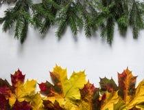 Disposição de ramos e das folhas de bordo spruce do outono no protozo fotos de stock royalty free