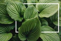Disposición creativa hecha de hojas con con un marco exhausto blanco Endecha plana fotografía de archivo libre de regalías
