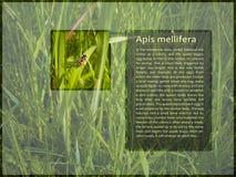 Disposición moderna de la pantalla de la información que muestra la abeja Imágenes de archivo libres de regalías