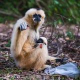White cheek gibbon. Disposing of plastic bags, potentially dangerous to white gibbons Stock Photos
