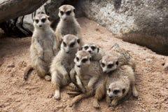 Dispositif protecteur mignon de position de meerkat sur un sable Image libre de droits