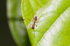 Dispositif protecteur rouge de fourmi Images libres de droits