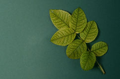 Disposition créative avec les vies vert clair des roses sur un fond vert Concept plat de configuration Photos stock