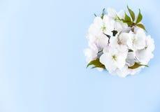 Disposition de Cherry Blossom Flowers sur le fond bleu Image stock