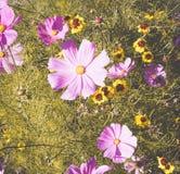 Disposition de fleurs de Cosmea 1 Images libres de droits