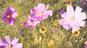 Disposition de fleurs de Cosmea 2 Photo stock