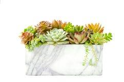 Disposition fleurissante succulente rouge et verte de plante d'intérieur à l'arrière-plan blanc de planteur de marbre photos stock