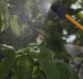 Dispositivo para rociar el pesticida en el jardín Imágenes de archivo libres de regalías
