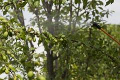 Dispositivo para rociar el pesticida en el jardín Fotografía de archivo libre de regalías