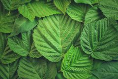 Disposizione creativa fatta delle foglie verdi Disposizione piana Priorità bassa della natura Fotografia Stock