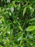 Disposizione creativa fatta delle foglie verdi Disposizione piana Fondo della natura per progettazione differente immagine stock libera da diritti