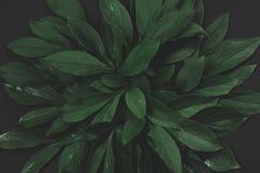Disposizione creativa fatta delle foglie verdi su fondo nero Vista superiore Concetto della natura fotografia stock libera da diritti