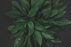 Disposizione creativa fatta delle foglie verdi su fondo nero Vista superiore Concetto della natura immagine stock