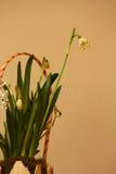 Disposizione dei fiori con i bucaneve Fotografia Stock