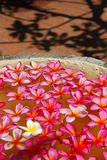 Disposizione dei fiori di plumeria Immagine Stock Libera da Diritti