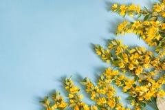 Disposizione dei fiori gialla festiva della lysimachia della lisimachia su fondo blu Disposizione piana Fotografia Stock