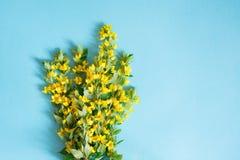 Disposizione dei fiori gialla festiva di lisimachia, lysimachia su fondo blu Disposizione piana Immagini Stock Libere da Diritti